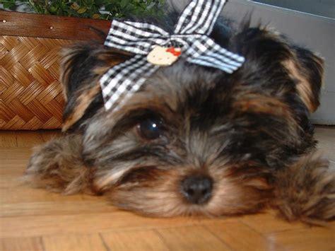large yorkie big of yorkie puppy jpg hi res 720p hd