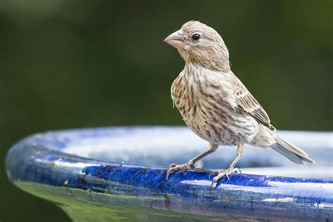 house finch scientific name house finch animal and the partner