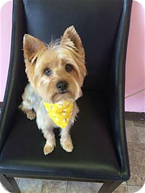 yorkie puppies for adoption in va manassas va yorkie terrier silky terrier mix meet rufus a for adoption