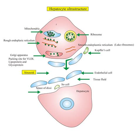 liver cell diagram liver histology labpedia net