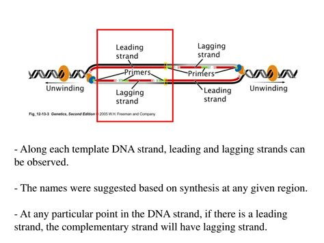 how is the template strand for a particular gene determined ppt review proteins and their function in the early