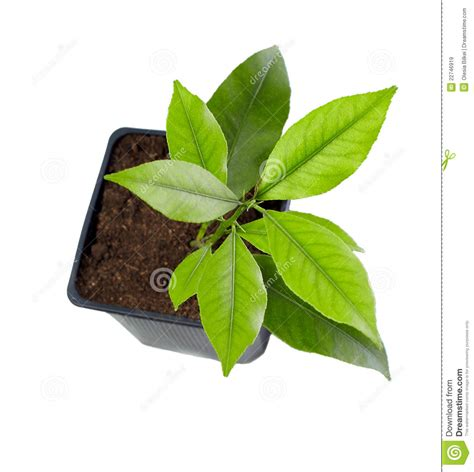 small potted plant isolated on white stock photo image small potted citrus tree plant isolated on white royalty