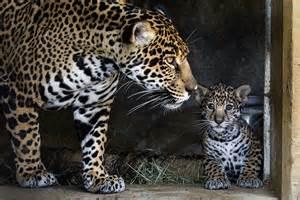 Jaguars In California
