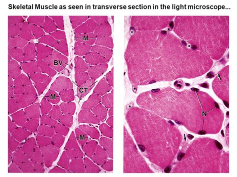 transverse section of skeletal muscle muscle tissue j matthew velkey ph d ppt video online