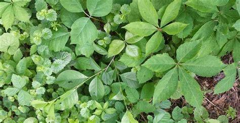 indoor ivy plants