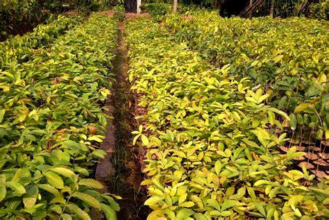 Jual Bibit Kefir Banjarmasin banjarmasin jual bibit tanaman