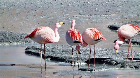 Free photo: Flamingos, Andes, Birds   Free Image on Pixabay   639171