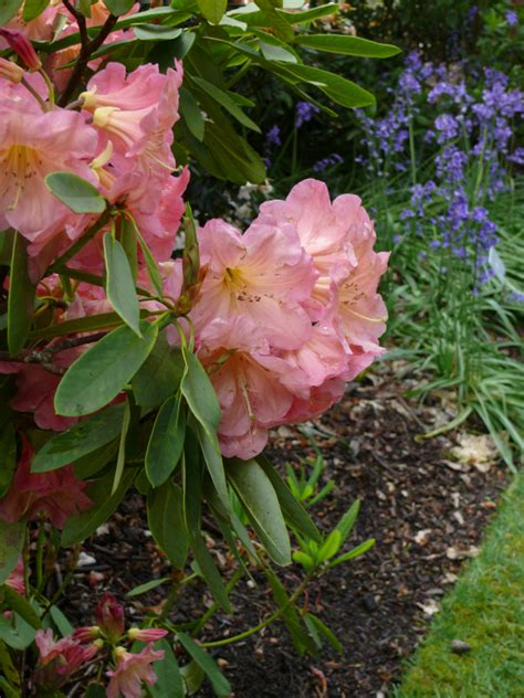rhododendron plant by color