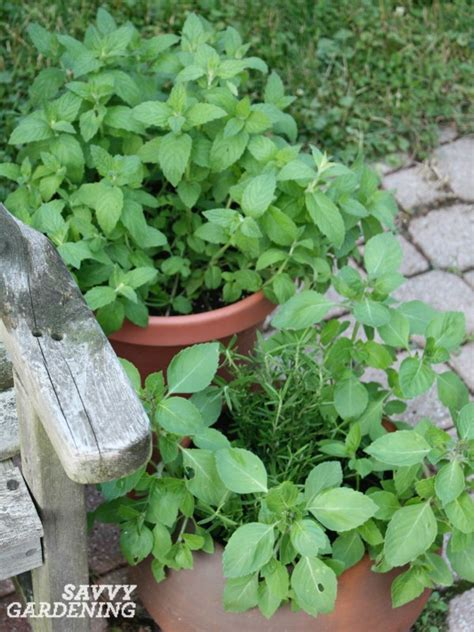 best herbs for container gardening the 7 best herbs for container gardening