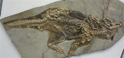 Fossil Leather D 4 8cm Artk Jpg f 243 siles incre 237 bles ciencia y educaci 243 n taringa