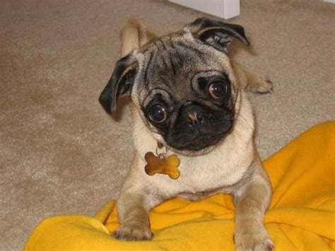 how much are pug puppies in australia pug puppy for sale for sale adoption from western australia perth metro