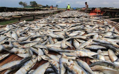 Benih Ikan Sidat Per Kilo Ikan Asin Rp120 000 Per Kg Harganya Setara Daging Okezone Economy