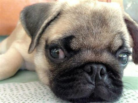 chunky pug pugs www imgkid the image kid has it