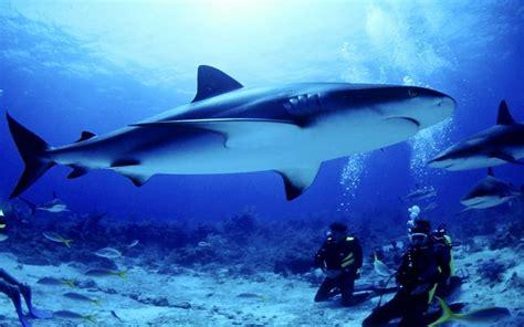 seabed shark fish divers hd wallpapers  desktop