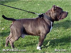 best for pit pit bull collars
