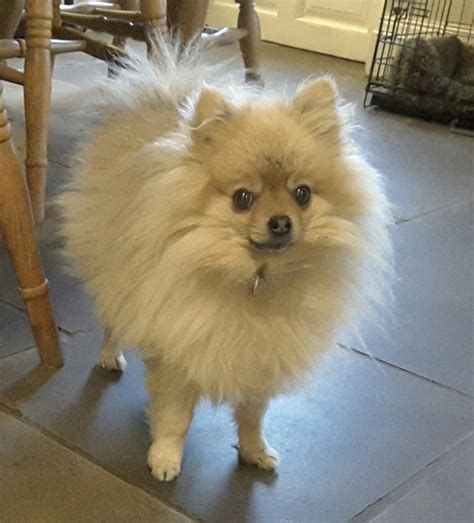 pomeranian ears what breed is this pic