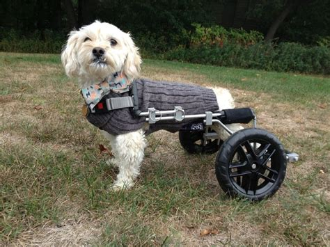 sweet dogs albert my sweet on wheels so excited about his new quot eddie s wheels quot in