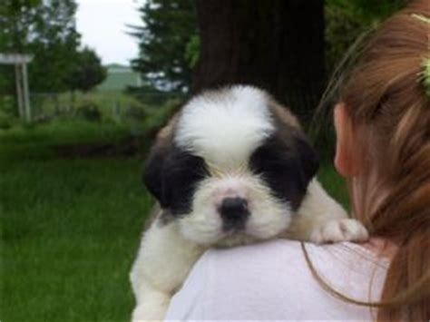 st bernard puppies for sale in nc bernard puppies for sale