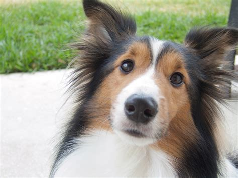 sheltie breed beautiful sheltie breed wallpapers and images wallpapers pictures photos