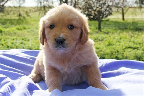 field golden retriever breeders golden retriever puppies for sale chevromist kennels puppies australia
