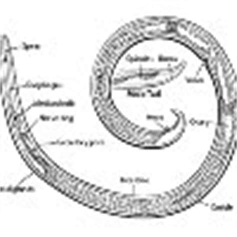 diagram of nematode nematode diagram