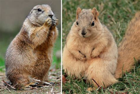 prairie vs gopher gopher vs groundhog vs prairie pictures to pin on pinsdaddy