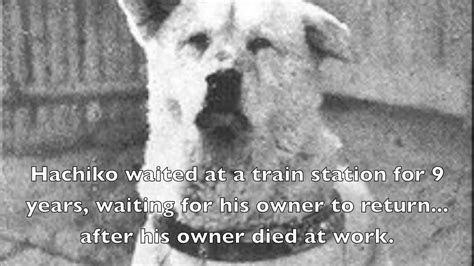 loyal dogs 2 amazingly loyal dogs captain hachiko