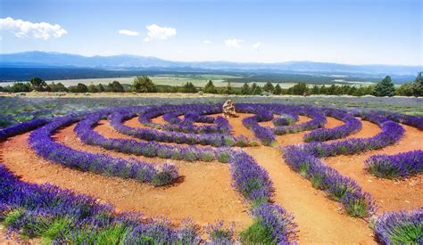 lavender labrynth 15 stunning photos of lavender fields around the world 171 twistedsifter