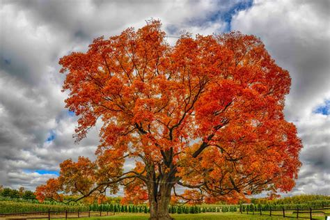 mindblowing planet earth maple acer natures favorite