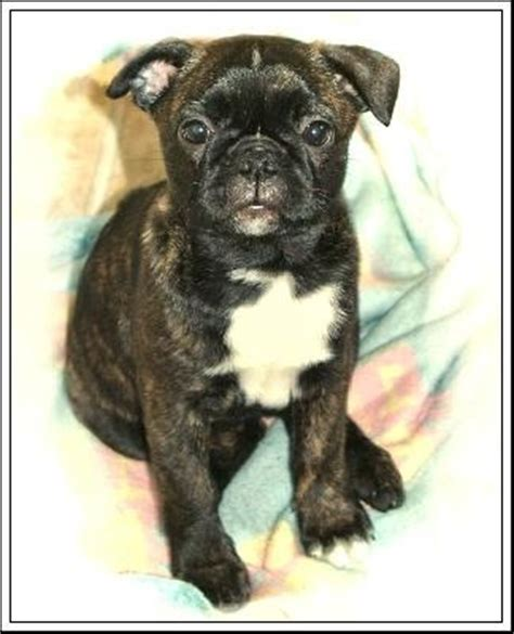 pug boston terrier mix price the 25 best boston terrier pug ideas on boston terrier pups boston
