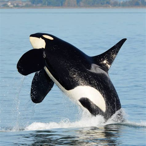 Whale L by Sidney Whale On Orca Journal 4 Southern Resident Killer Whales Onyx Sidney