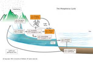 ruck zuck treppe the phosphorus cycle science learning hub