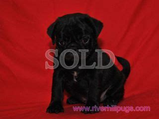 riverhill pugs riverhillpugs 169 2016 puppies available apricot black and fawn akc pug