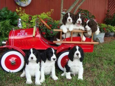 Coleman Springer Farm - Puppies For Sale