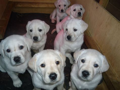 white golden retriever puppies for sale uk labrador puppies white golden norwich norfolk pets4homes