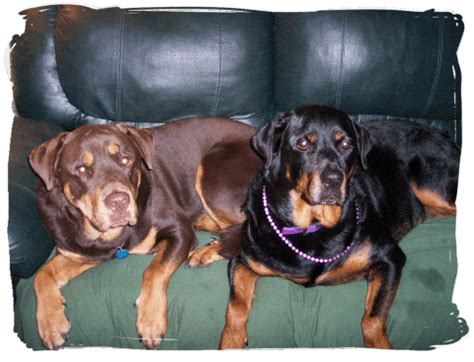 merle rottweiler coloring in purebred dogs