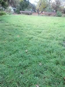 Starting A Backyard Nursery Dwarf Yarrow A Ground Cover You Can Walk On The Smarter