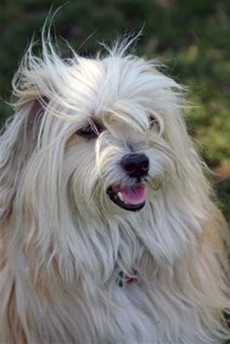 havanese rescue bay area shirley in woodland ca a havanese lhasa apso mix she has been