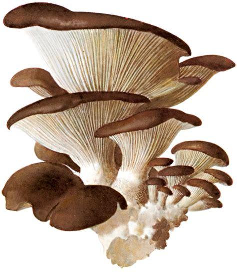 cucinare funghi coltivati funghi pleurotus ostreatus gratinati ricette di cagna