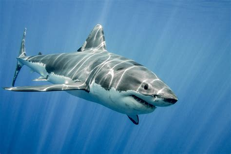images of sharks the most shark infested waters in the world