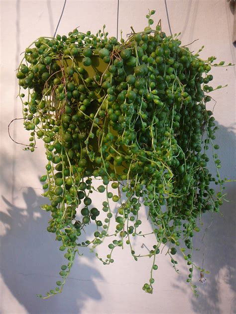 senecio rowleyanus string  pearls  palm room