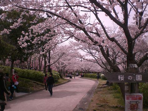 wallpaper bunga sakura terindah gambar wallpaper bunga sakura jepang gudang wallpaper