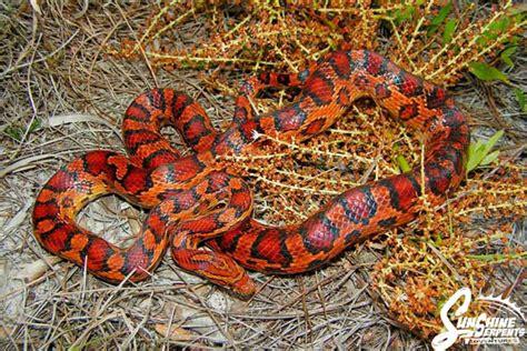 Garden Snake In Florida S Garden Corn Snake Elaphe Guttata Guttata