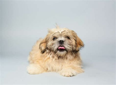 shih tzu pekingese mix information shih tzu pekingese mix dogs breeds picture