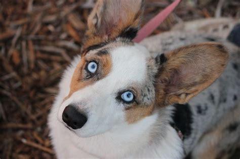 blue merle corgi puppies for sale pembroke corgi puppies for sale 2 breeds picture