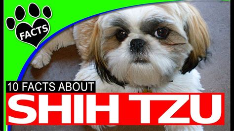dogs 101 shih tzu 10 shih tzu dogs 101 facts history origins most popular breeds animal facts