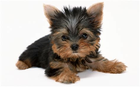 yorkies personality terrier history personality appearance health and pictures