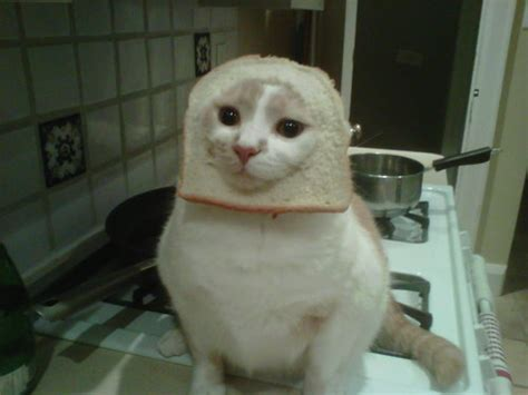 Cat Breading Meme - cat breading meme infuriating cats everywhere photos