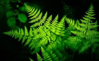 fern backgrounds free download wallpapercraft