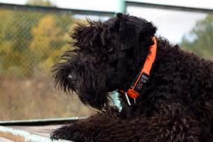 Black Russian Terrier Shedding by Top 7 Big Dogs That Don T Shed Much Dogsarena